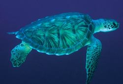 Sea turtle. Photo blog, I follow back :)