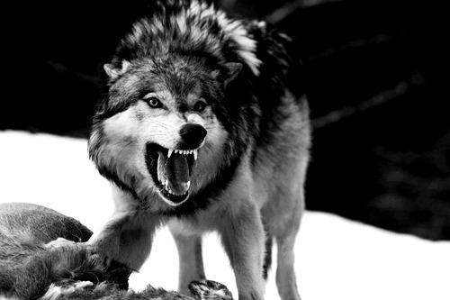 afghany:  We humans fear the beast within the wolf because we do not understand the beast within ourselves