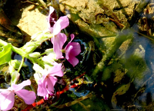 Flower at the pond. Reflection off the water. Rule of thirds.
