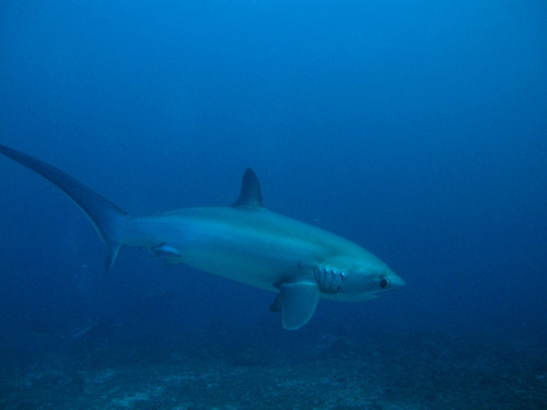 sharkpics:  thresher shark