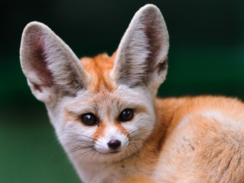 Portrait of a cute fennec fox (by Tambako The Jaguar)