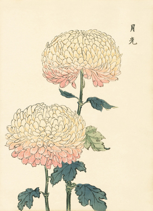 "victoriousvocabulary:  CHRYSANTHEMUM  [noun] often called mums or chrysanths; perennial flowering plants of the genus Chrysanthemum in the family Asteraceae which are native to Asia and northeastern Europe. About 30 species have been described. Florists sometimes abbreviate the spelling to ""xants"". They are used by humans for ornamental, culinary, insecticidal and environmental purposes. The name ""chrysanthemum"" is derived from the Greek words, chrysos (gold) and anthemon (flower)."