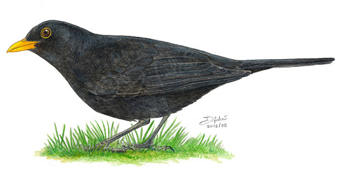 dfalcao-art:  Turdus merula. A male blackbird. Done based on many studies and photos. I just love when blackbirds are all busy looking for food and when you interrupt them they just stare at you for a split second before they flee.