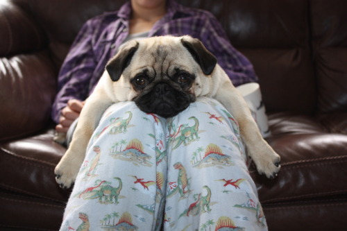 To a pug, you are always the best seat in the house! (via mings)