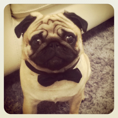 cutepugpics:  Stay classy, little pug! (via design-n-stuff)