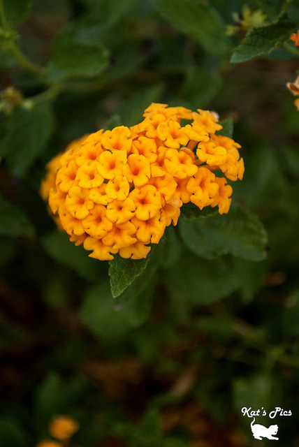 Yellow Lantana on Flickr.www.katheryns-gallery.com