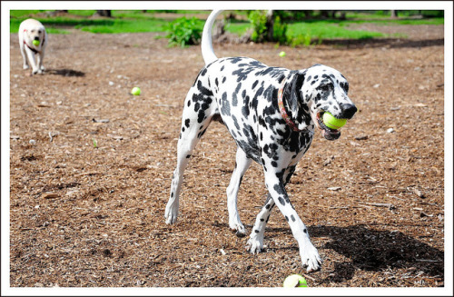 ihavelotsofdogs:  Having a Ball! by thedaner on Flickr. Dalmatian