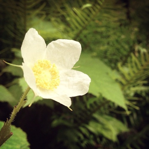 #flower #macro #white #yellow #multnomahfalls #oregon #columbiarivergorge #nature #untamedamericas #hike #picfx #latergram (Taken with instagram)