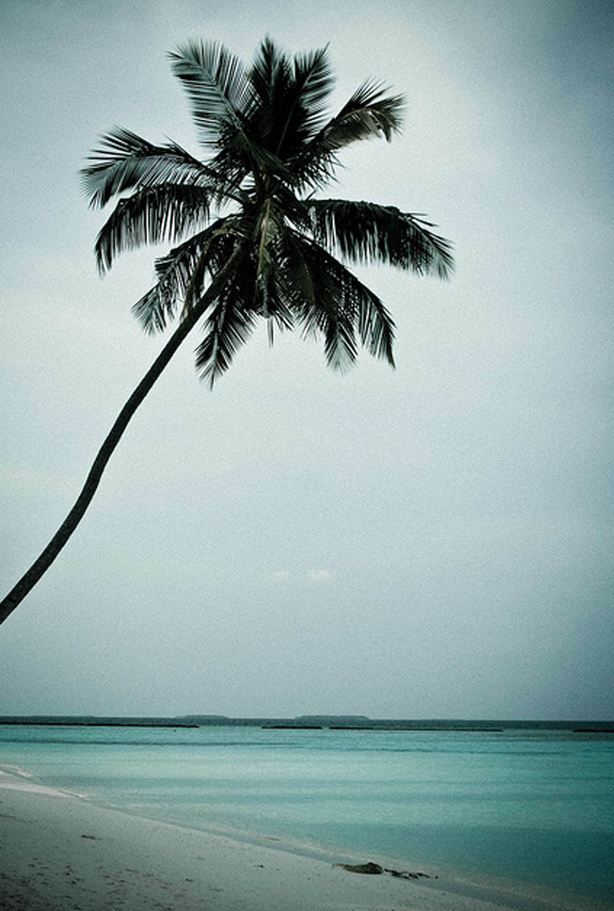 Palm Tree by ccharmon on Flickr.