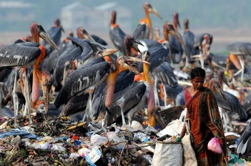 rhamphotheca:  Greater Adjutant Storks crowd a garbage dump as a woman hunts for rags to sell in Guwahati, India, on May 10th, 2012. Overall, though, it's the storks that are being crowded out, as development drains wetlands that have long made Guwahati home to the world's largest concentration of the species. (via: National Geo)       (image: European Press Agency)