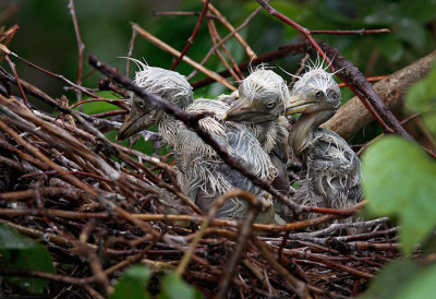 Gauhati, India: baby egrets sit on a nest as it rains. The arrival of egrets indicates the beginning of the monsoon season in this region.  Photograph: Anupam Nath/AP