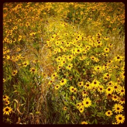 Wild flowers. #editjunky #editfromtheheart #editfever #yourart #yellow #implus_daily #instafamous #igersoftheday #instamood #instagrammers #instalikes #instagood #picoftheday #pixoftheday #photooftheday #all_shots #summer #gf_usa #gf_daily #hdr #hdreality #hdr_lovers #kansas #lovelifeee #bestoftheday #bestagram #naturelovers #nature #bestof2012  (Taken with instagram)