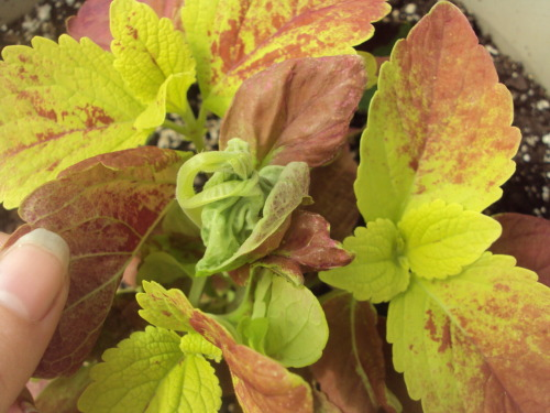 sacredplants:  One of my Coleus cuttings is attempting to grow 4+ leaves all in the same area at the same time. I'm interested in seeing how this turns out~