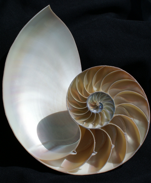 Above: The logarithmic spiral of the chambered Nautilus shell. stephen w morris . The Chambered Nautilus . This is the ship of pearl, which, poets feign,Sail the unshadowed main,—The venturous bark that flingsOn the sweet summer wind its purpled wingsIn gulfs enchanted, where the Siren sings,And coral reefs lie bare,Where the cold sea-maids rise to sun their streaming hair.Its webs of living gauze no more unfurl;Wrecked is the ship of pearl!And every chambered cell,Where its dim dreaming life was wont to dwell,As the frail tenant shaped his growing shell,Before thee lies revealed,—Its irised ceiling rent, its sunless crypt unsealed!Year after year beheld the silent toilThat spread his lustrous coil;Still, as the spiral grew,He left the past year's dwelling for the new,Stole with soft step its shining archway through,Built up its idle door,Stretched in his last-found home, and knew the old no more.Thanks for the heavenly message brought by thee,Child of the wandering sea,Cast from her lap, forlorn!From thy dead lips a clearer note is bornThan ever Triton blew from wreathed horn;While on mine ear it rings,Through the deep caves of thought I hear a voice that sings:—Build thee more stately mansions, O my soul,As the swift seasons roll!Leave thy low-vaulted past!Let each new temple, nobler than the last,Shut thee from heaven with a dome more vast,Till thou at length art free,Leaving thine outgrown shell by life's unresting sea!By Oliver Wendall Holmes (1809-94) .  . The nautilus, a sea creature that lives inside a spiral shell. As it grows, the nautilus makes new, larger chambers of its shell in which to live, closing off the old chambers and gradually forming a spiral. encyclopedia.com . Artemis:  I've always loved them… and the poem.  :)