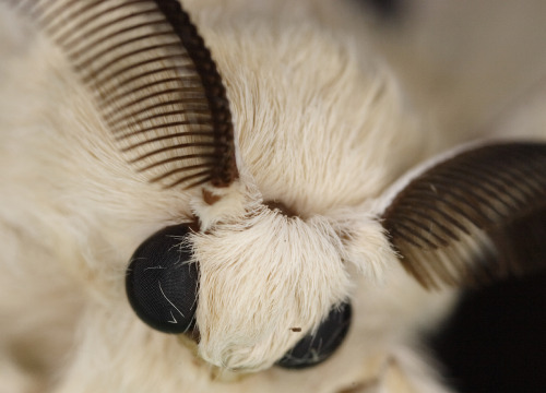 empusidae:  White Silk Moth  Sorry for the 12 year old girl moment, but awww that is just the most adorablest zomg <3<3<3