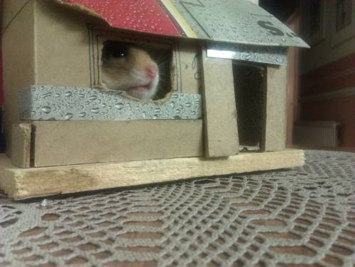 "thefluffingtonpost:  Hamster Home Ownership Finally In Reach A new study from the Federal Housing Administration finds that for the first time in the history of the administration, home ownership is realistic goal for a majority of the hamster population.  New numbers indicate that because house prices have fallen so dramatically over the last three years, while hamster unemployment has stayed at a relatively low 5.6%, more hamsters are purchasing instead of renting.   ""It's a confluence of things,"" says FHA researcher Barry Tompkins.  ""The hamster-based energy field is a growth area, meaning more high-paying jobs, coupled with low home prices and generous FHA interest rates for first-time home buyers."" According to the study, a full 55% of hamsters will be home owners by the year 2015. Via BrianWulfricPercival."