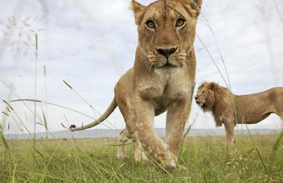 Lions of the Masai Mara. Picture: BARCROFT MEDIA / ANUP and MANOJ SHAH