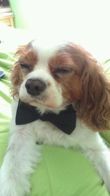 angstlessteen:  I thought putting a bow tie on my dog would be a good idea ….As it turns out, I was right