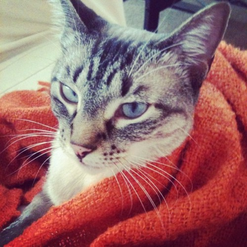 Cuddles #stella #kitty #cute #blanket (Taken with instagram)
