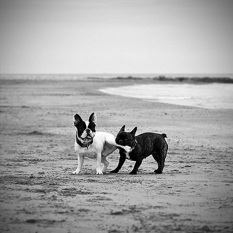 theblackballerina:  Murray - French bulldogs playing on a beach