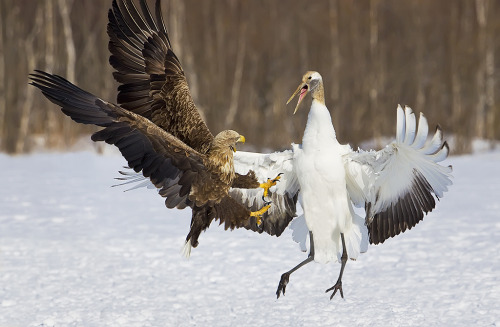 fairy-wren:  white-tailed sea eagle with unfortunate crane (photo via digital georgia circuit)   He is not hunting the crane, is he?
