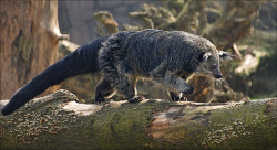 giraffe-in-a-tree:  Binturong or Bearcat by Foto Martien on Flickr.