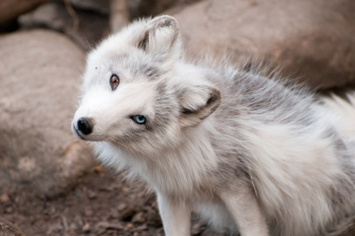 sevenpercent:  kingdomy:  Fox & Twist (by Sean Gordon)  a heterochromic fox? gorgeous
