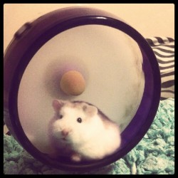Dexter is posing for the camera :) #HamsterLove #Hamster (Taken with instagram)