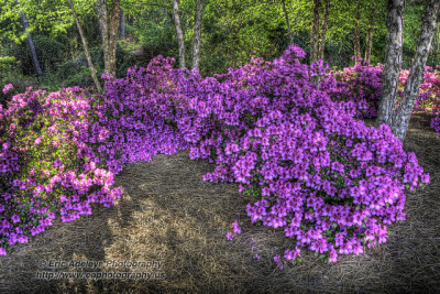 196/365 - The Azaleas Are Blooming on Flickr. © 2012 Eric Adeleye Photography.  It is that time of year again here in Wilmington, North Carolina. Azaleas don't live too long, but they are truly beautiful flowers to behold. Follow me on My Website | Google Plus | Twitter | Facebook | 500px | Tumblr