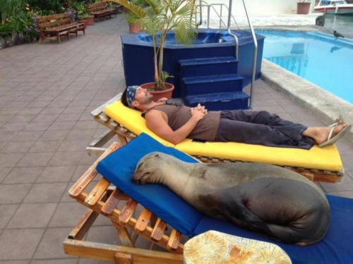 ilnemaimepasdutout:  When Panchita the sea lion found herself injured with deep cuts all over her body after being caught in a net in the ocean, she washed up not on rough shores, but at a hotel. Animal advocates there who found Panchita spent the next three months nursing her back to health. Panchita, now pregnant and expecting her baby sea lion any day, goes out to sea and then returns to the hotel each day to rest.