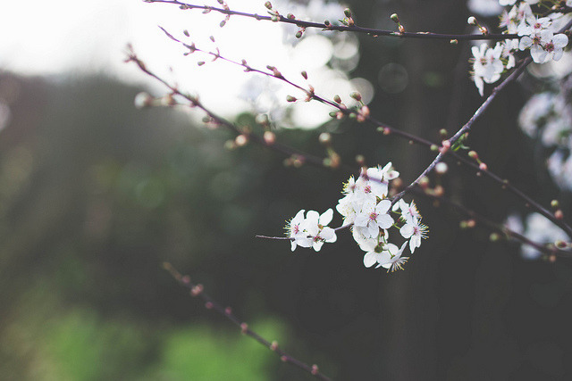 a-twa:  blossom by kirstinmckee on Flickr.
