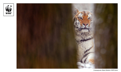 WWF-Canon Pic of the Week #13 - Siberian Tiger on Flickr. Siberian Tiger (Panthera tigris altaica) glimpsed between trees. With increasing levels of poaching and habitat loss, these naturaly wary animals are under threat. Find out more about the natural world and the work WWF does to help protect Tigers in the wild. © naturepl.com / Edwin Giesbers / WWF-Canon - WWF-Canon Pic of the Week image may not be used without permission.