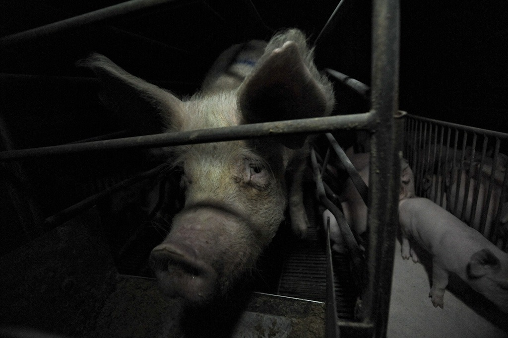 vegan-because-fuck-you:  antaganostic:  Photo: Jo-Anne McArthur  This is such a powerful photo. I'm sorry that I used to eat you my friend. Never again will I contribute to your pain.