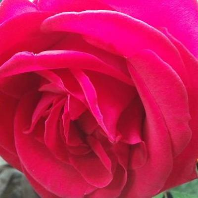 If you look at a rose up close, you will start to notice all the little imperfections. A misshapen petal, a water stain here, maybe some browning on the edges, a miniscule hole where an insect previously dined, and tiny, sharp thorns that sometimes seem to come out of nowhere. We can pick it apart and find its flaws, but those little things are what make each one unique. There is no such thing as a perfect rose. Yet every rose is beautiful, not despite its imperfections, but because of them.~Rayne