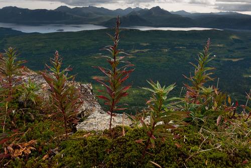 Wilting fireweed and Snake Lake, SW Alaska by CohoJuan on Flickr.