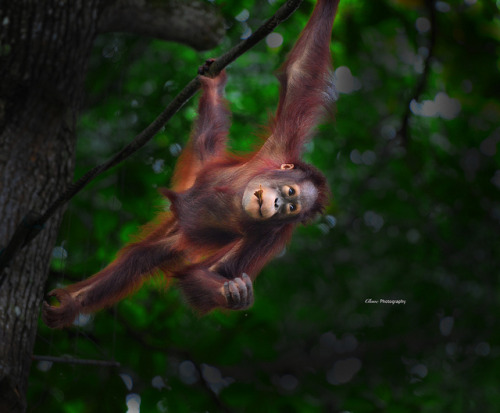 Bornean Orang Utan on Flickr.