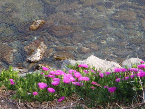Trailing Iceplant (Delosperma cooperi) on the rocky terrain of Cadaqués in the province of Girona, Catalonia, Spain.