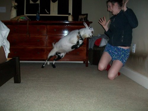 Goat Lunging at Girl Baaaa-d goat: