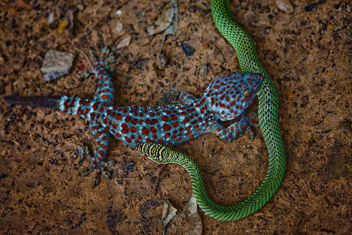 Tokay Gecko eating a snake. Cambodia by Paul Cowell on Flickr.  thaaaaaaat's crazy.. but also a beautiful capture! I can't say the same about the dots though (trypophobia) lol O_O