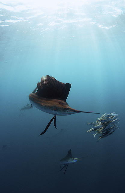 sun-stones:  Sailfish sun rays by Shane Gross on Flickr.
