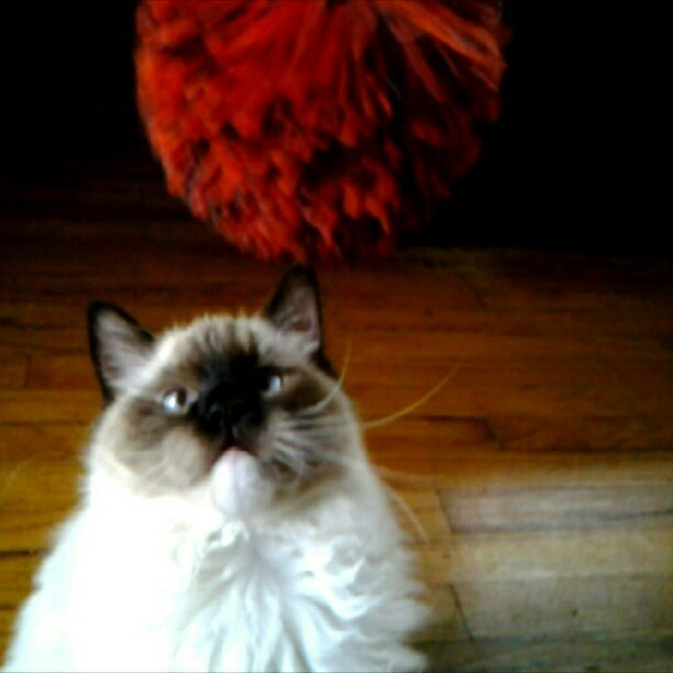 Gimme the Koosh ball #Mr.Darcy #doodle my #Ragdoll cat as a kitten last summer watching a spinning #Koosh ball #cute #funny #silly #cats #kittens #pets #adorable #animals #ragdolls #toy #seal-mitted (Taken with instagram)