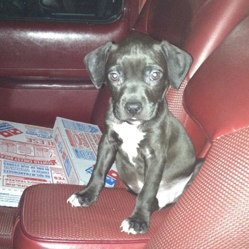 When I first got little lucifer❤ #pitbull #pit #pistagram #dontbullymybreed #cute #puppy #handsome #lucifer  (Taken with instagram)