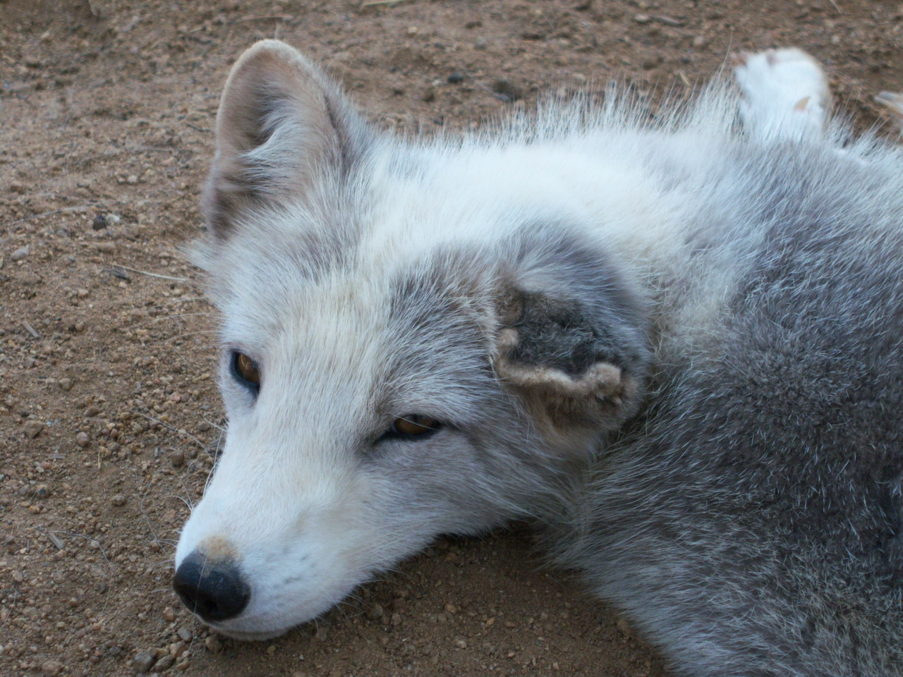 zookeeping:  Sitka the Arctic Fox