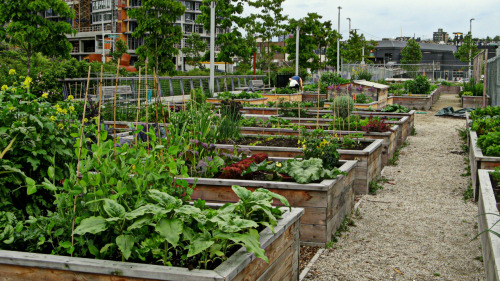 Here's a days old shot of the thriving community garden just west of the Southeast False Creek neighbourhood/ 2010 Olympic Village. The City of Vancouver's website explains that:  Southeast False Creek (SEFC) is a leading model of sustainability in North America, incorporating forward-thinking infrastructure, strategic energy reduction, high-performance buildings and easy transit access.
