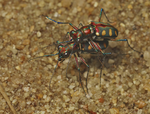 IMG_4034 tiger beetles mating by Troup1 on Flickr.