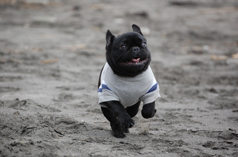 Frenchies on the beach. This always wins. dailyfrenchie:  Happiness