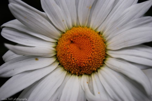 One of my daisy shots.