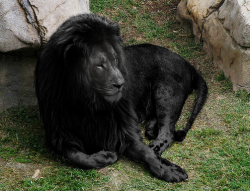 earth-song:  Black Lion by ~PAulie-SVK