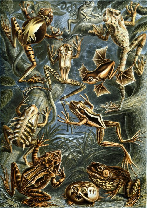 wallacegardens:  Haeckel:  Batrachia (flying frogs), 1904.