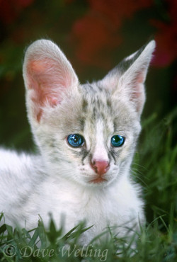 earth-song:  white-footed serval kitten felis serval wildlife rescue.